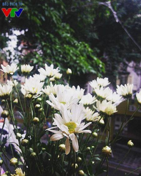 Cuc hoa mi tinh khoi mang mua dong ve pho - Anh 4