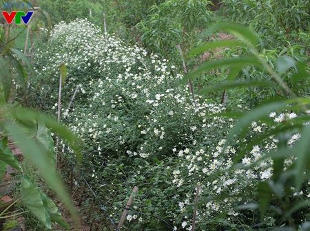 Cuc hoa mi tinh khoi mang mua dong ve pho - Anh 5