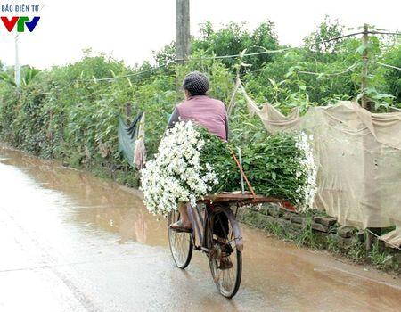 Cuc hoa mi tinh khoi mang mua dong ve pho - Anh 6
