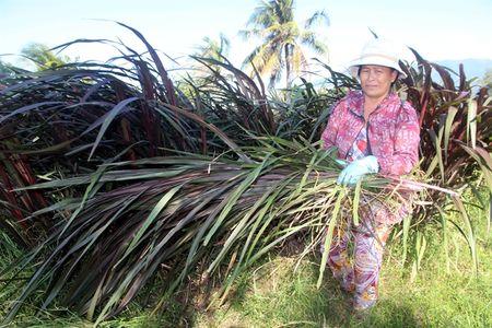 Chuyen doi o Ninh Thuan: Trong co tiet kiem nuoc - Anh 1