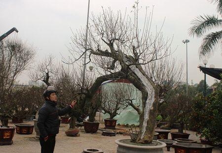 Cay dao phai duoc het gia 200 trieu dong - Anh 8