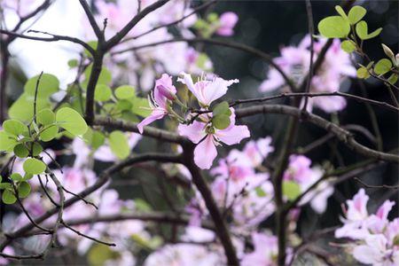 Ghe tham nhung cung duong ruc ro hoa ban giua long Ha Noi - Anh 3