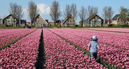 Ngo ngang ngam canh dong mau sac ruc ro o xu so hoa tulip - Anh 5