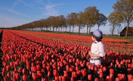 Ngo ngang ngam canh dong mau sac ruc ro o xu so hoa tulip - Anh 6