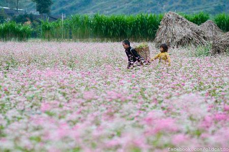 Ha Giang thu hut 226.000 luot khach den ngam hoa tam giac mach - Anh 1