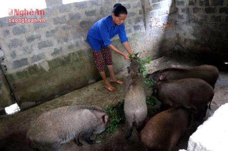 Nong dan nuoi lon rung phuc vu Tet - Anh 3