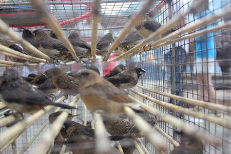 Chim phong sinh 'hut' khach Ha Noi ngay tien ong Cong ong Tao - Anh 3