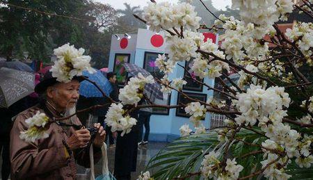 Man nhan voi hoa anh dao Nhat Ban no ro duoi mua xuan Ha Noi - Anh 5