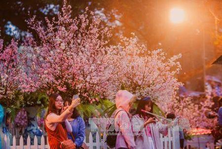 Nguoi Ha Noi doi mua xem hoa Anh dao Nhat Ban - Anh 5