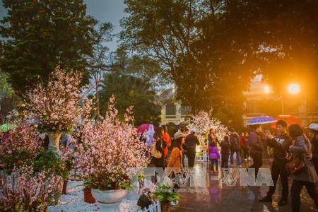 Nguoi Ha Noi doi mua xem hoa Anh dao Nhat Ban - Anh 7