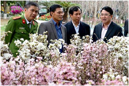 Trien lam hoa anh dao tai thanh pho Hoa Phuong Do - Anh 2