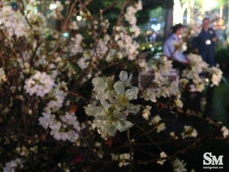 Le hoi hoa anh dao Ha Noi 2017: 100% hoa that nhung kem sac - Anh 10