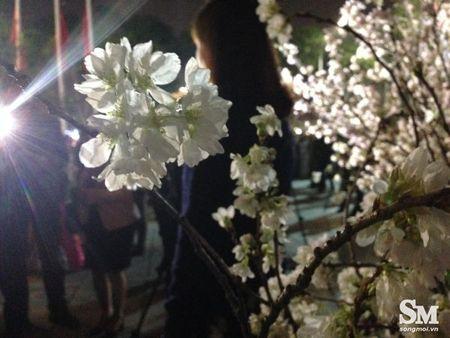 Le hoi hoa anh dao Ha Noi 2017: 100% hoa that nhung kem sac - Anh 1