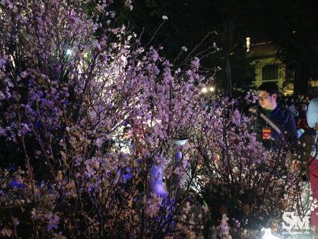 Le hoi hoa anh dao Ha Noi 2017: 100% hoa that nhung kem sac - Anh 5
