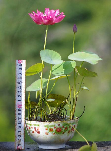 Mach ban nhung cach trong hoa sen doc la, don gian - Anh 6