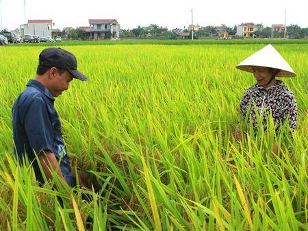 Dong A 1 va Phuc Thai 168: 2 giong lua trien vong - Anh 2