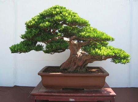 Ky thuat trong cay Tung La Han va cach tao the bonsai mang lai tai loc - Anh 2