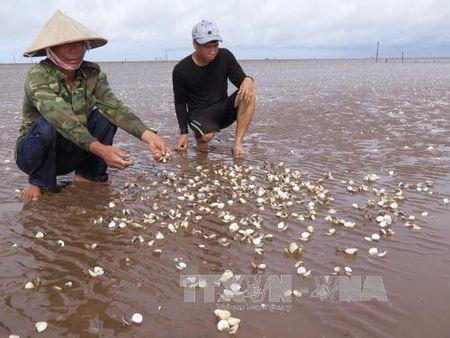 Hai Phong: Ngao chet hang loat khong ro nguyen nhan - Anh 1