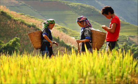 Tay Bac mua lua chin ruc ro sac vang trong anh 'Dau an Viet Nam' - Anh 7