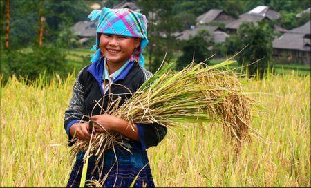 Tay Bac mua lua chin ruc ro sac vang trong anh 'Dau an Viet Nam' - Anh 8