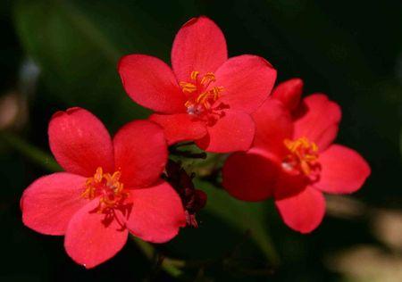 Hong mai - loai hoa mang ve dep 'doc-la' - Anh 11