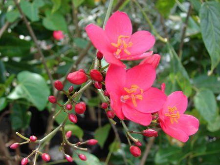 Hong mai - loai hoa mang ve dep 'doc-la' - Anh 13