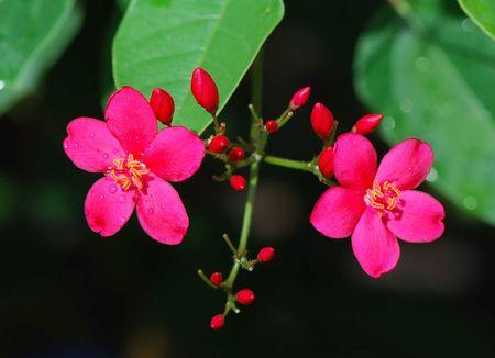 Hong mai - loai hoa mang ve dep 'doc-la' - Anh 3