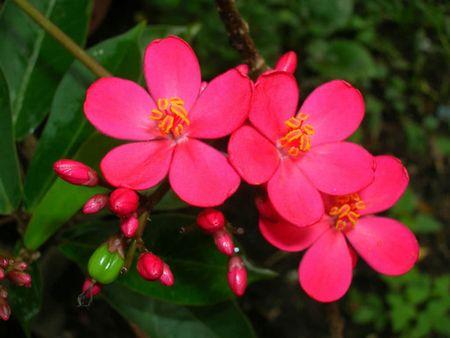 Hong mai - loai hoa mang ve dep 'doc-la' - Anh 4