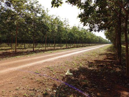 Hoang Anh Gia Lai xin chuyen doi hon 1.400 ha dat trong cao su sang trong cay an qua - Anh 1