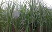 Nghệ An: Hơn 1.000 ha mía huyện Qùy Hợp bị rệp xơ bông trắng