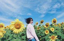 5 điểm ngắm hoa hướng dương tuyệt vời ở Việt Nam