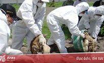 Thủ tướng chỉ đạo tập trung phòng chống cúm gia cầm H7N9