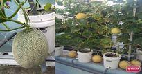 """Trồng ngay dưa lưới """"khủng"""" tại nhà theo cách này để có trái ăn mỏi miệng suốt hè"""