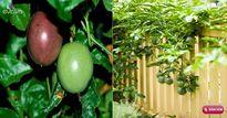 Hè này, trồng chanh leo phủ xanh sân thượng lại có thức uống đã đời