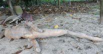 Khánh Hòa: Đào trúng củ sắn dài hơn 2m, có hình thù giống người cá