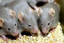 Mách bạn 3 cách đơn giản nhất để nhà không có bóng dáng con chuột nào