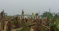 Vườn chuối tiền tỷ bị phá nát, nhóm người chặt đã được thả về
