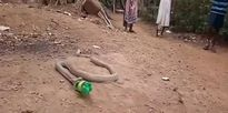 Hổ mang quằn quại nôn ra chai nhựa ở Ấn Độ