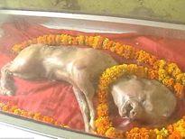 Sinh vật đầu người thân bò gây hoang mang ở Ấn Độ