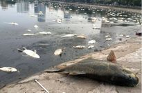 Đúng 1 năm sau sự cố, xác cá chết lại nổi trắng hồ Hoàng Cầu