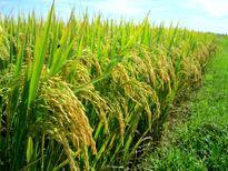 Cơ giới hóa đồng bộ, 5 đột phá mới trong sản xuất lúa