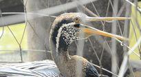 Thảo Cầm Viên đưa chim cổ rắn quý hiếm về nuôi dưỡng