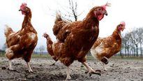 Pháp xác nhận trường hợp nhiễm virus cúm gia cầm H5N8 gần biên giới với Bỉ