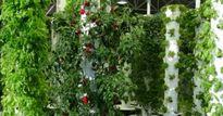 Vườn rau treo thẳng đứng, cung cấp cho nhà hàng ngay giữa sân bay