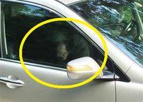 Cặp vợ chồng hốt hoảng nhìn thấy con gấu lạ mở cửa xe SUV vào phá banh chành
