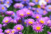 Chiêm ngưỡng vẻ đẹp của loài hoa tháng 9