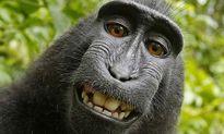 Khỉ được 'đòi hộ quyền sở hữu' ảnh selfie, nhiếp ảnh gia bị kiện đến phá sản