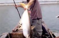 Clip: Cần thủ câu được cá tra 'khủng' trên sông Đồng Nai