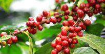 Giá nông sản hôm nay 22.7: Cà phê tăng cao nhất 52 tuần, tiêu ảm đạm