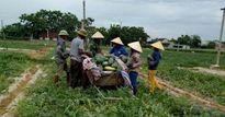 Nghệ An: Dưa hấu được giá, nông dân lãi 9 triệu/sào